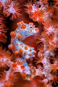 Pygmy seahorse (Hippocampus bargibanti,) hiding in a seafan (Muricella sp.). Bitung, North Sulawesi, Indonesia. Lembeh Strait, Molucca Sea.Cropped. - Alex Mustard
