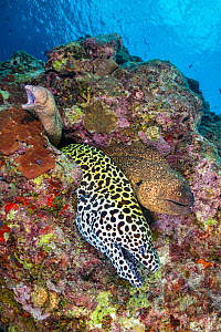 Three moray eels, a Honeycomb moray: (Gymnothorax favagineus), Yellowmargin moray: (Gymnothorax flavimarginatus) and White-eyed moray (Gymnothorax thrysoideus) emerge from a single hole in a coral ree...  -  Alex Mustard