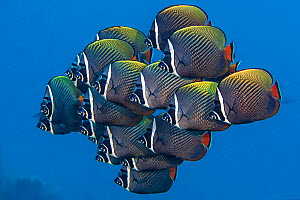 School of White collar butterflyfish (Chaetodon collare) pack together above a coral reef. North Male Atoll, Maldives. Indian Ocean  -  Alex Mustard