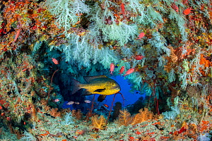 Midnight snapper (Macolor macularis) shelters in a cavern on a coral reef with white soft corals (Scleronephthya sp.) and solderfish. Vavuu Atoll, Maldives. Indian Ocean - Alex Mustard