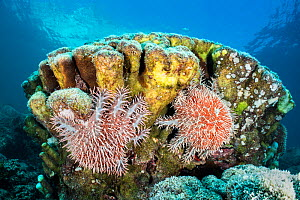 Pair of crown-of-thorns sea stars (Acanthaster planci) feeding on a coral colony. La Paz, Baja California Sur, Mexico. Sea of Cortez, Gulf of California, East Pacific Ocean. - Alex Mustard