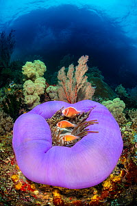 Three Pink anemonefish (Amphiprion perideraion) living in a purple skirted magnificent sea anemone (Heteractis magnifica) on a coral reef, below a small island. Misool, Raja Ampat, West Papua, Indones...  -  Alex Mustard