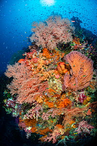 Large reef scene on the current exposed face of a coral reef, with seafans (Melithaea sp.), soft corals (Dendronephthya spp.), sponges, coral grouper (Cephalopholis miniata), anthias, damselfish and m...  -  Alex Mustard
