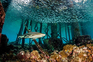Blacktip reef shark (Carcharhinus melanopterus) swims beneath a jetty and schools of silversides (Atherinidae) on a coral reef. Misool, Raja Ampat, West Papua, Indonesia. Ceram Sea. Tropical West Paci... - Alex Mustard