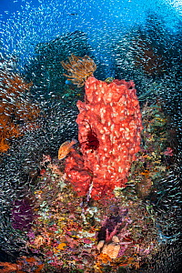 Schools of baitfish including Cardinalfish (Apogon spp) and Silversides (Atherinidae) mass on a coral reef, with Giant barrel sponge (Xestospongia sp.) and predatory coral grouper (Cephalopholis minia...  -  Alex Mustard