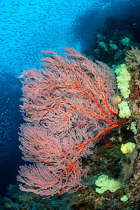 Red seafan (Melitheae sp.) and soft coral (Dendronephthya sp.) on a reef drop off, with schooling silversides (Atherinidae). Misool, Raja Ampat, West Papua, Indonesia. Ceram Sea. Tropical West Pacific...  -  Alex Mustard