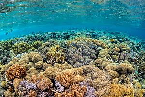 Coral (Lobophytum sp.) on a reef flat, with Hawksbill turtle (Eretmochelys imbricata) in background. Misool, Raja Ampat, West Papua, Indonesia. Ceram Sea. Tropical West Pacific Ocean.  -  Alex Mustard