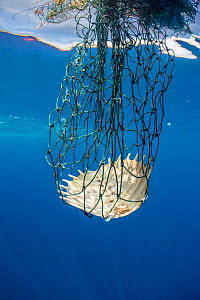 Carapace of a dead olive Ridley turtle (Lepidochelys olivacea) entangled in discarded fishing gear. Indian Ocean, off Sri Lanka.  -  Alex Mustard