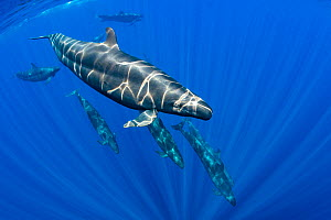 Pod of False killer whales (Pseudorca crassidens) swimming beneath the surface of the ocean. Indian Ocean, off Sri Lanka. - Alex Mustard