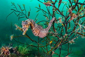 Portrait of a male short snouted seahorse (Hippocampus hippocampus) in sea oak seaweed (Halidrys siliquosa). Devon, England, United Kingdom. British Isles. English Channel. North East Atlantic Ocean. - Alex Mustard