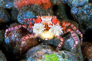 Close up of a tiny Boxer crab (Lybia tessellata) as it waves the stinging anemones it holds in its claws for defence. Tulamben, Bali, Indonesia. Java Sea. - Alex Mustard