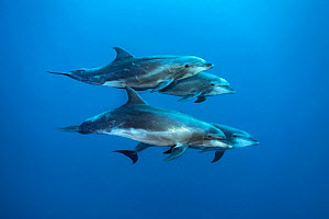 Bottlenose dolphin (Tursiops truncatus) pod of four, swimming in the open ocean. Wolf Island, Galapagos National Park, Galapagos Islands.. East Pacific Ocean. - Alex Mustard