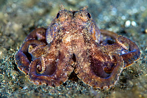 Plain spot octopus (Octopus exannulatus) on the seabed at night. Bitung, North Sulawesi, Indonesia. Lembeh Strait, Molucca Sea.  -  Alex Mustard