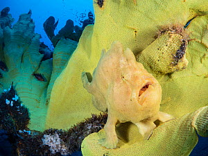 Portrait of a Giant frogfish (Antennarius commersoni) on a large Yellow elephant ear sponge (Ianthella basta). Bitung, North Sulawesi, Indonesia. Lembeh Strait, Molucca Sea.  -  Alex Mustard