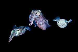 Shoal of three Bigfin reef squid (Sepioteuthis lessoniana) in open water at night. Bitung, North Sulawesi, Indonesia. Lembeh Strait, Molucca Sea.  -  Alex Mustard