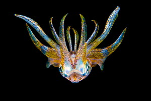 Portrait of a Bigfin reef squid (Sepioteuthis lessoniana) in open water at night. Bitung, North Sulawesi, Indonesia. Lembeh Strait, Molucca Sea.  -  Alex Mustard