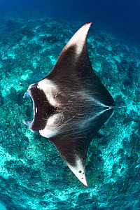 RF - Portrait of a large female Reef manta ray (Mobula alfredi) swimming over a coral reef. Misool, Raja Ampat, West Papua, Indonesia. Ceram Sea. Tropical West Pacific Ocean. (This image may be licens... - Alex Mustard