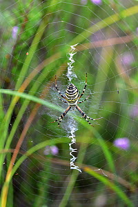 Wasp spider (Argiope bruennichi) on web. Surrey, England, UK. August.  -  Adrian Davies