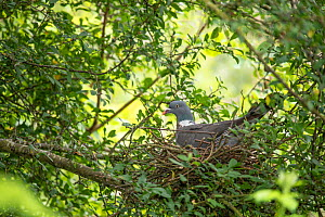 Wood pigeon (Columba palumbus) sitting on nest. Surrey, England, UK. July. - Adrian Davies
