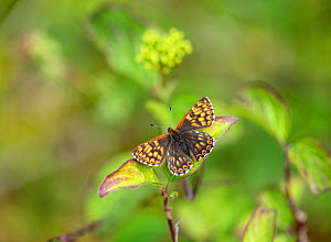 Duke of Burgundy (Hamearis lucina) butterfly with wings open. Kent, England, UK. May.  -  Adrian Davies