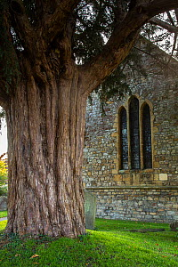 Yew (Taxus sp) in St. Tewdric's churchyard. Mathern, Monmouthshire, Wales, UK. November 2018.  -  Chris Mattison
