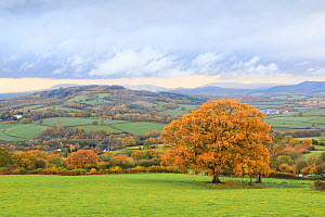 Oak (Quercus sp) tree and surrounding countryside in autumn. Near Monmouth, Monmouthshire, Wales, UK. November 2018.  -  Chris Mattison