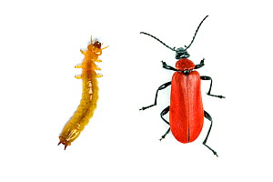 Black-headed cardinal beetle (Pyrochroa coccinea) larva and adult, on white background. Monmouthshire, Wales, UK. Digital composite.  -  Chris Mattison