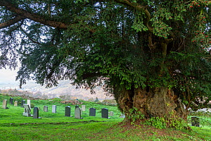 Yew (Taxus brevifolia), ancient tree aged over 700 years in churchyard. The Old Church, Penallt, Monmouthshire, Wales, UK. November 2018. - Chris Mattison