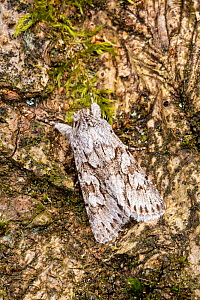 Early grey moth (Xylocampa areola) on bark. Monmouthshire, Wales, UK. March. - Chris Mattison