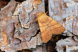 Treble lines moth (Charanyca trigrammica) on bark, Wye Valley, Monmouthshire, Wales, UK May. - Chris Mattison