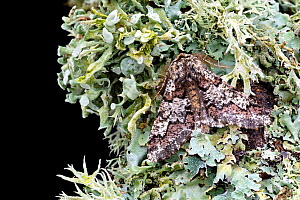 Oak beauty moth (Biston strataria) resting on lichen. Wye Valley, Monmouthshire, Wales. March, UK. Focus-stacked image.  -  Chris Mattison