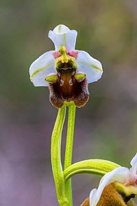 Late spider orchid (Ophrys fuciflora grandiflora), Cyprus. March. - Chris Mattison