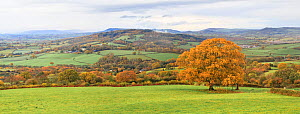 Autumn colours in countryside with Oak (Querus sp) tree. Near Monmouth, Monmouthshire, Wales, UK. November 2018. Digitally stitched image.  -  Chris Mattison