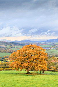 Autumn colours in countryside with Oak (Querus sp) tree. Near Monmouth, Monmouthshire, Wales, UK. November 2018.  -  Chris Mattison
