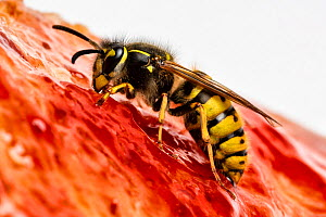 Common wasp (Vespula vulgaris) feeding on bread and jam. Monmouthshire, Wales, UK. March.  -  Chris Mattison