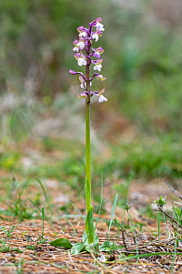 Green-winged orchid (Anacamptis morio syriaca). Western Cyprus. March.  -  Chris Mattison