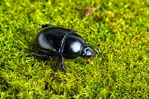 Common dor beetle (Geotrupes stercorarius) on moss. Whitelye, Monmouthshire, Wales, UK. March. - Chris Mattison