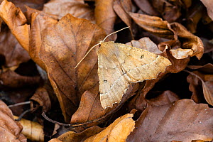 Scalloped hazel moth (Odontopera bidentata), Wye Valley, Monmouthshire, Wales, UK. May.  -  Chris Mattison