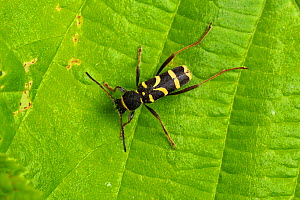 Wasp beetle (Clytus arietis) on leaf. Wye Valley, Monmouthshire, Wales, UK. May.  -  Chris Mattison