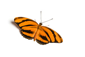 Banded orange heliconian (Dryadula phaetusa) butterfly, wings open, on white background. Native to Tropical America, including Florida. Captive. - Chris Mattison