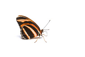 Banded orange heliconian (Dryadula phaetusa) butterfly, wings closed. Native to Tropical America, including Florida. Captive. - Chris Mattison