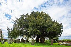Yew (Taxus sp), ancient tree aged over 800 years. In churchyard, St. Andrew's Church, Awre, Gloucestershire, England, UK. May 2018.  -  Chris Mattison