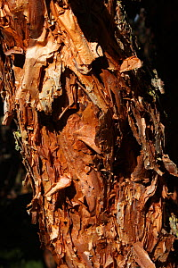 Polylepis or paper tree, (Polylepis sp.), layered bark, paramo, Azuay, Andes, Southern Ecuador.  -  JIM CLARE