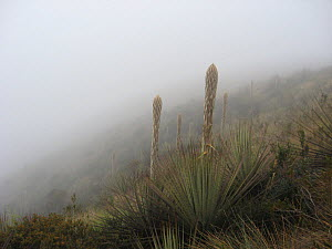Paramo landscape with mist and Puya sp. coming into flower, Paramo, Canar, Andes, Ecuador.  -  JIM CLARE