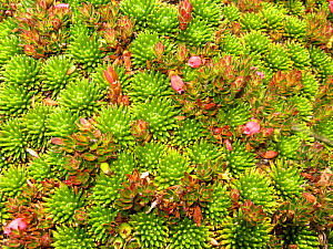 Paramo plants with succulent leaves to protect from physiological drought, paramo, Canar, Andes, Ecuador. - JIM CLARE