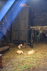 Guinea pigs, (Cavia porcellus) eaten on special occasions, in house at remote community of La Granja, Azuay, Andes, Southern Ecuador.  -  JIM CLARE