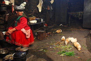 Woman with guinea pigs (Cavia porcellus) which are eaten on special occasions, in house in remote paramo community of La Granja, Azuay, Andes, Southern Ecuador.  -  JIM CLARE