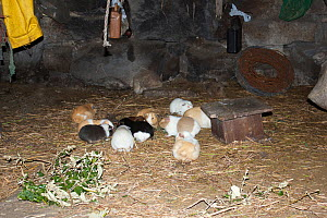 Guinea pigs (Cavia porcellus), which are eaten on special occasions, in house at remote community of La Granja, , Azuay, Andes, Southern Ecuador. - JIM CLARE