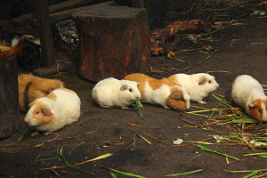 Guinea pigs, (Cavia porcellus), which are eaten on special occasions, in house at remote community of La Granja, Azuay, Andes, Southern Ecuador. - JIM CLARE