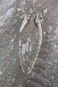 Fossilized whale in desert near Ica, Peru.  -  JIM CLARE